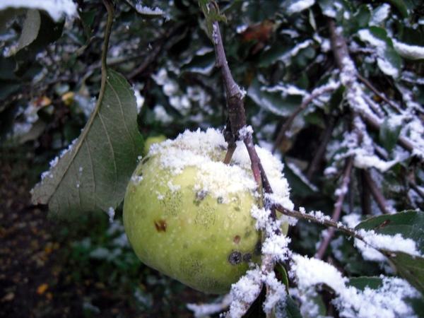 Яблоко в снегу