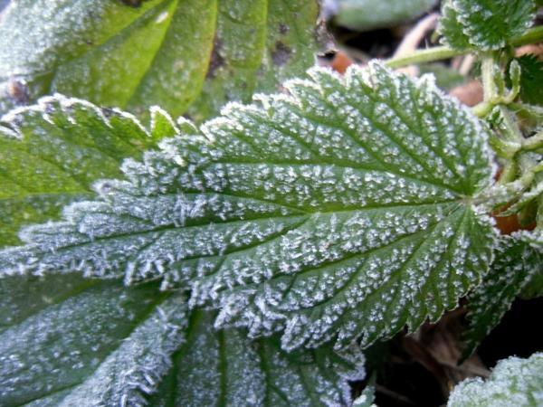 Морозные узоры на листе крапивы