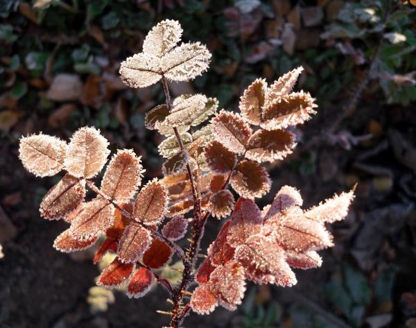 Покрасневший лист шиповника
