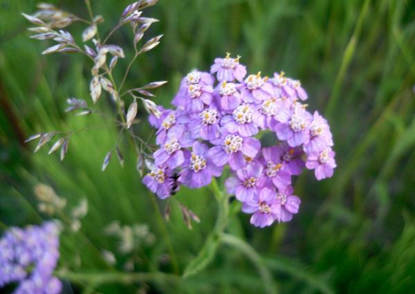 Тысячелистник с яркими цветками