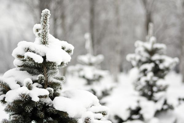 Елки под снегом