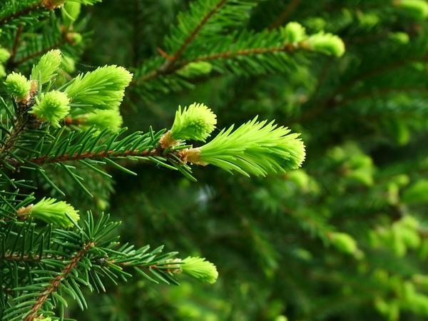Молодые иголки на елке