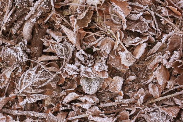 Опавшая листва, покрытая инеем