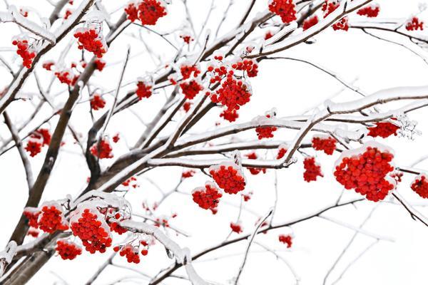 Ягоды - украшение зимнего сада