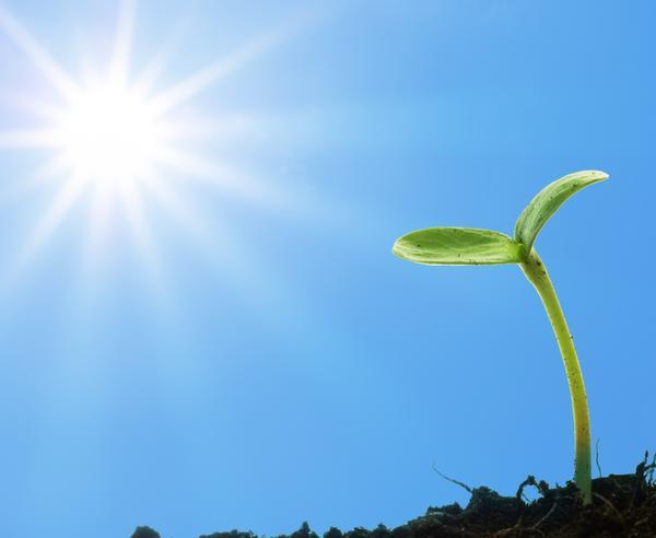 Росток под солнышком