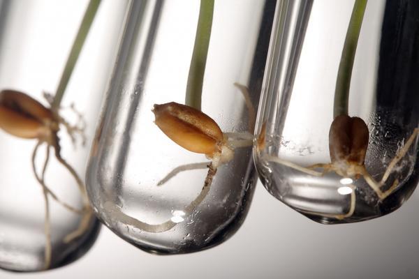 Намачивание и проращивание семян ускоряют появление всходов