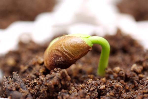Закаленные семена устойчивы к холодам