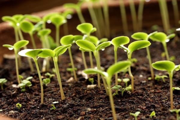 Стратифицированные семена дают дружные всходы