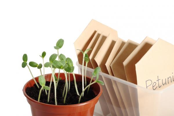 Заготовить собственные семена с гибридов F1 не получится
