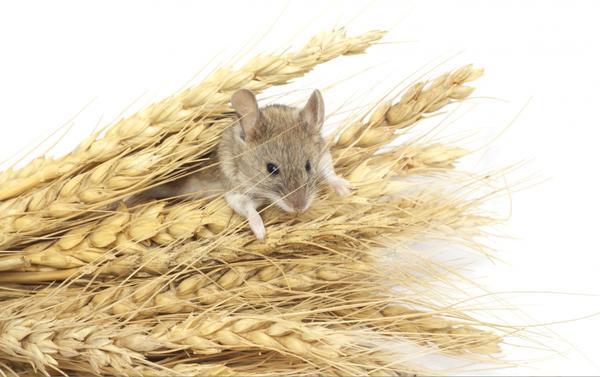 На Трифона заговаривали мышей
