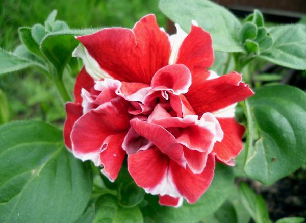 Посеяв петунию на рассаду в феврале, в мае вы уже будете любоваться цветами