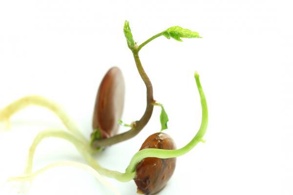 Всхожесть семян можно повысить, а прорастание - ускорить