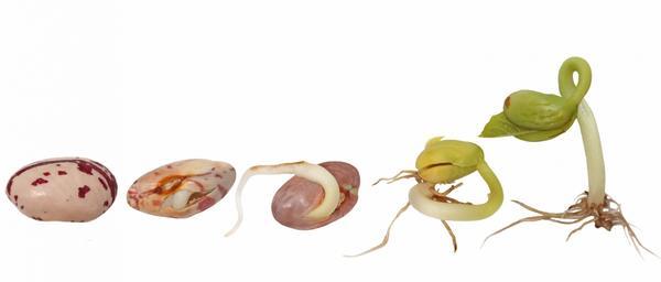 Этапы прорастания семян