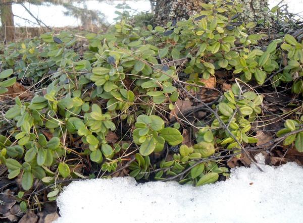 Вечнозеленый брусничник