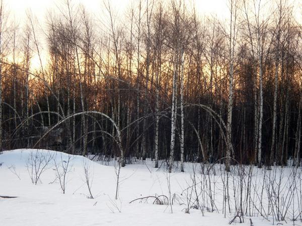 Березы после ноябрьских снегопадов