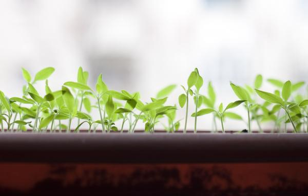 Важно вовремя пикировать растения