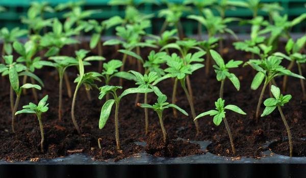 Время выращивать рассаду овощей