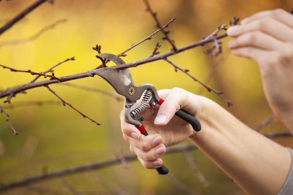 Пора обрезать деревья и кустарники в саду