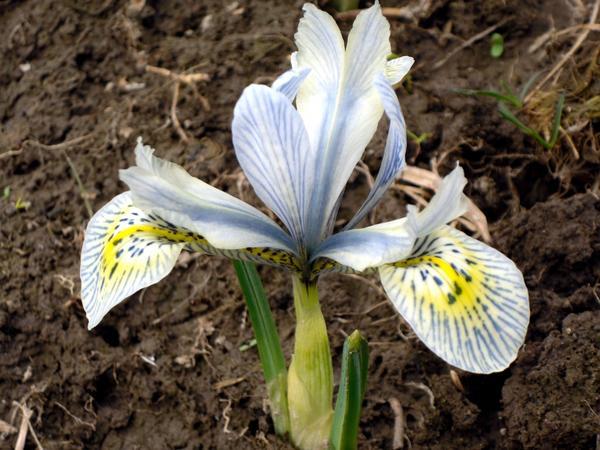 Иридодиктиум - крохотный, но изящный цветок