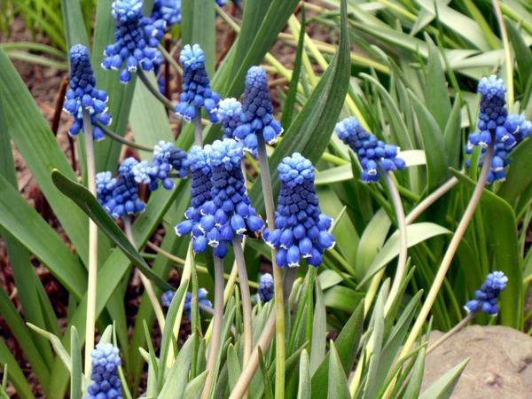 Мускари - яркие и неприхотливые цветы