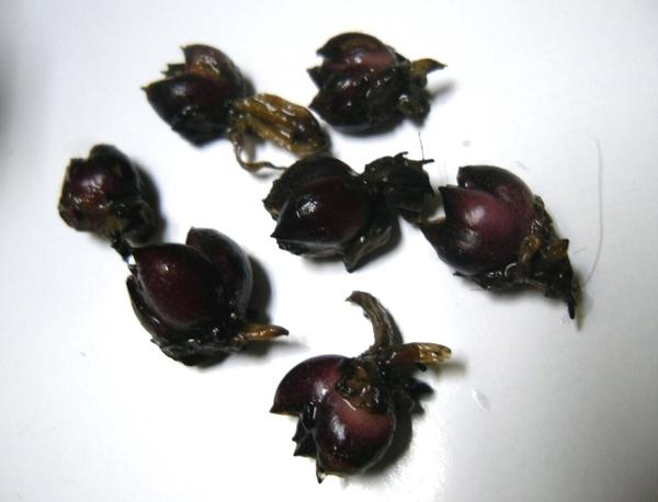 Перезимовавшие бульбочки лилии