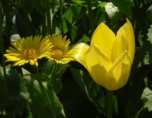 Желтый тюльпан и дороникум