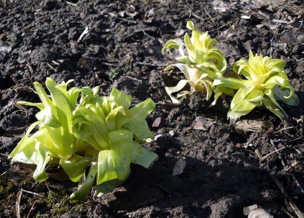Ростки лилий по весне