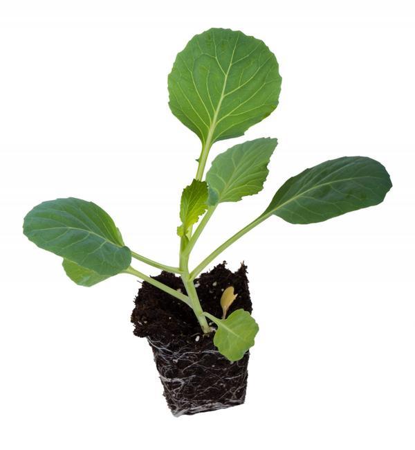 Здоровая рассада капусты - хороший урожай
