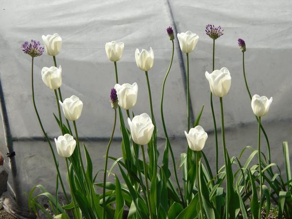 Белые тюльпаны и аллиум
