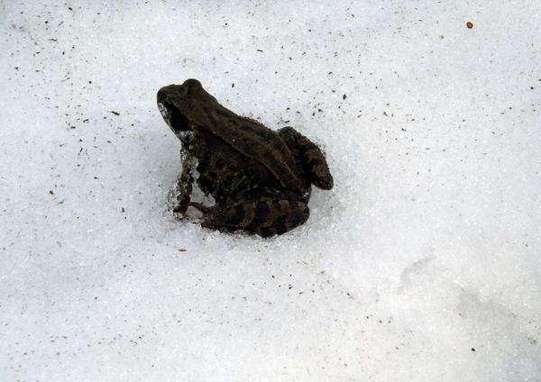 Лягушка на снегу