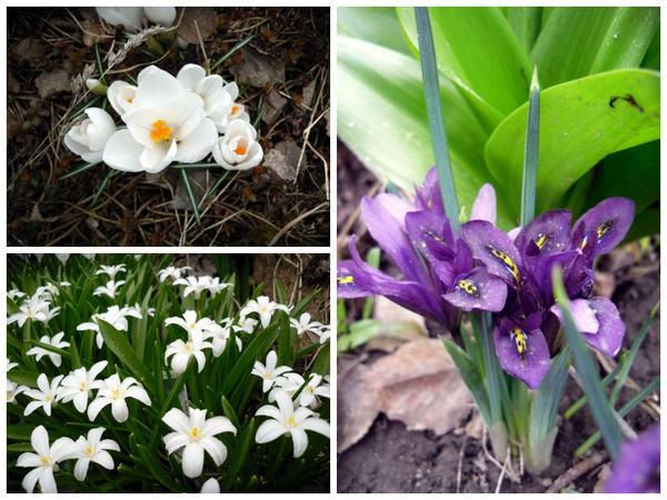 Первоцветы, апрель 2012