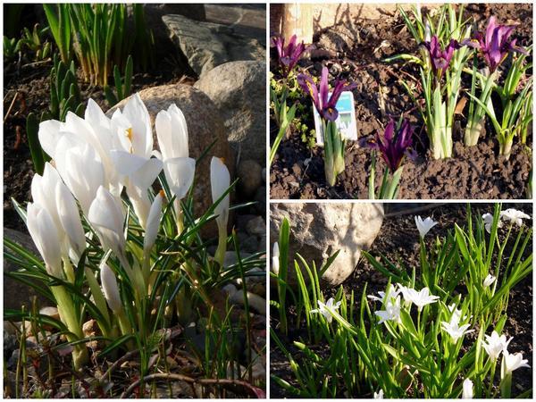 Первоцветы, апрель 2010