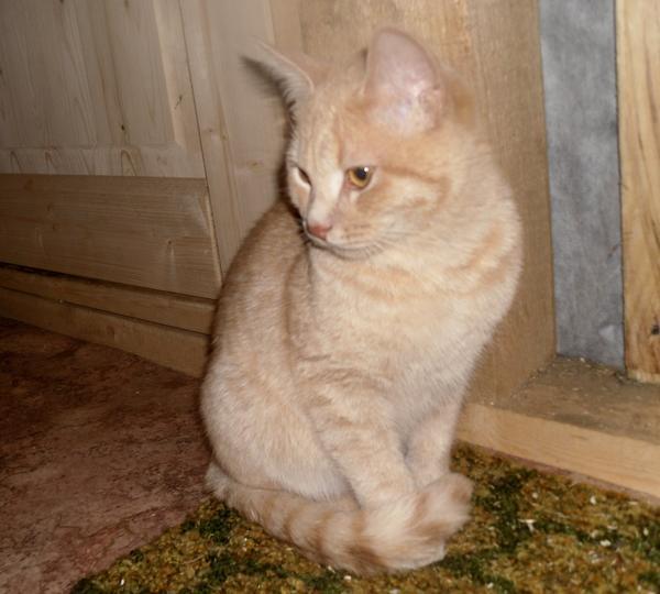 Наш кот Персик