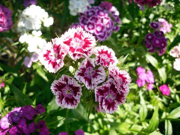Гвоздика турецкая в цветнике