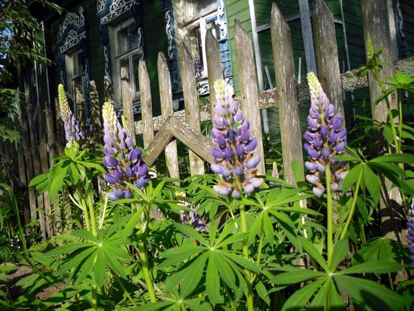 Люпин - деревенский цветок