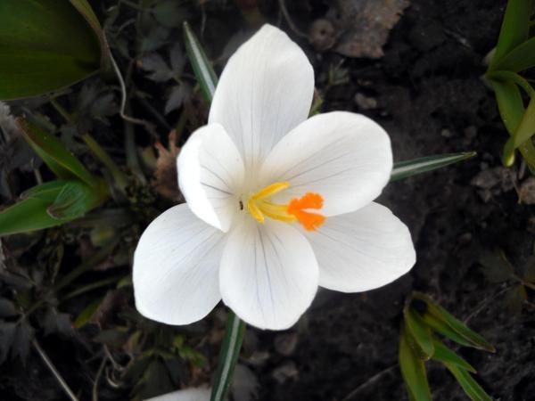 Белый крокус