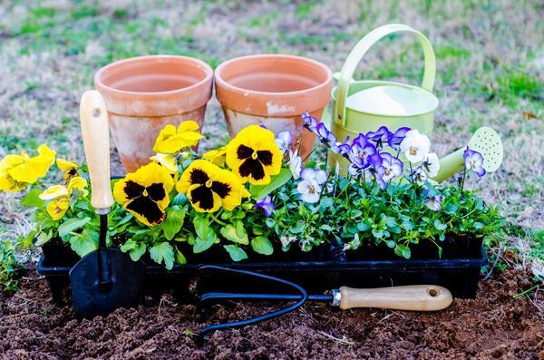 Можно сажать рассаду холодостойких цветов