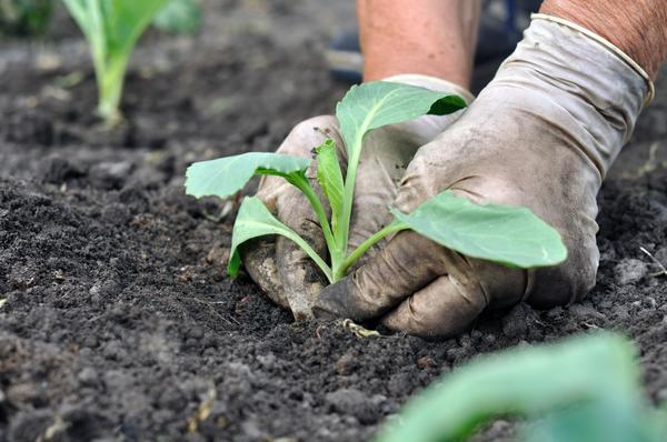 Время сажать раннюю капусту