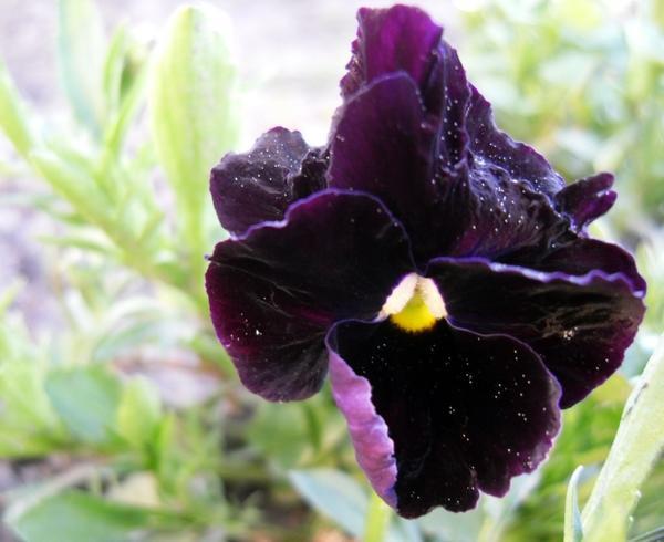 Черная виола крупным планом