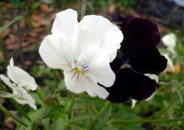Виолы нетребовательны, но на хороший уход отзываются продолжительным цветением
