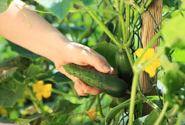Огурец Апрельский выращивают в теплицах и на балконах