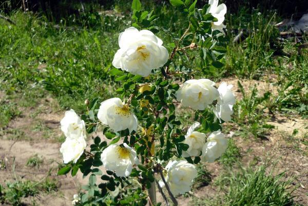 Цветущая ветка шиповника