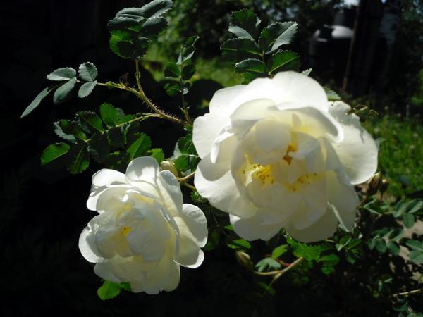 Цветы белого махрового шиповника