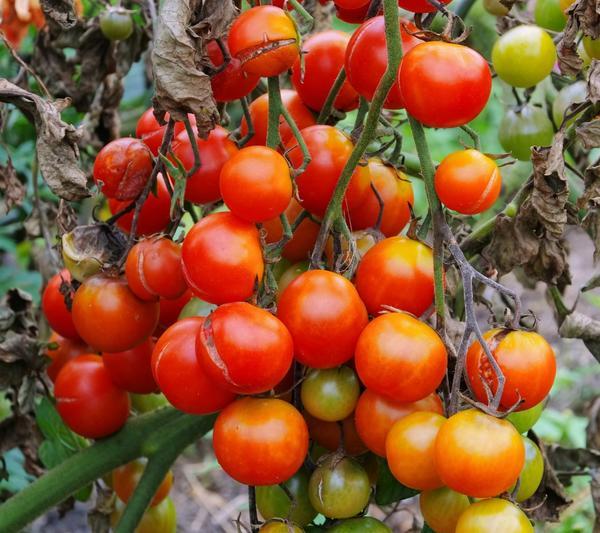 Фитофтора каждый год губит томаты
