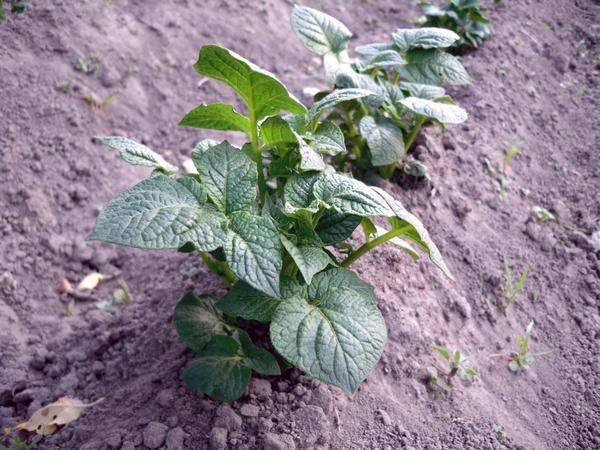 Картофель после окучивания растет быстро