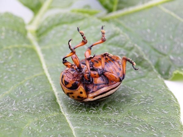 Травяные настои помогают избавиться от колорадского жука