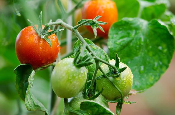 Чтобы был урожай, томатам нужны подкормки