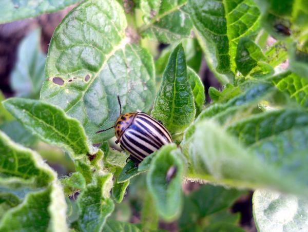 Пришло время борьбы с колорадскими жуками