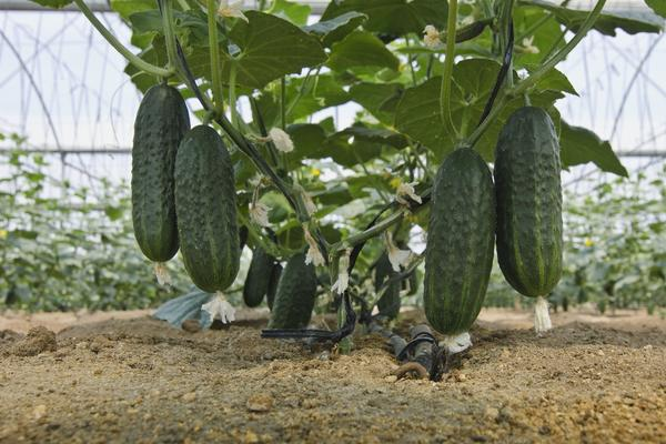 Огурец - всенародно признанный и любимый овощ