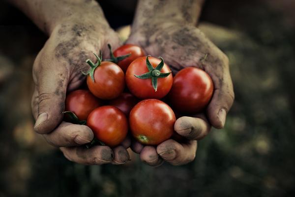 Чтобы собрать урожай томатов, нужно предупредить фитофтору